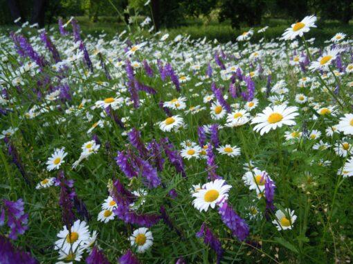 Łąka kwietna w Parku Króla Jana III